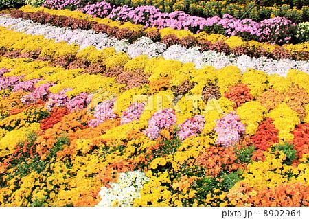 菊の花畑 8902964