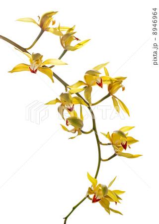 Fresh bright yellow orchidの写真素材 [8946964] - PIXTA