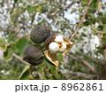 ナンキンハゼ 実 種の写真 8962861