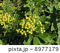 縁取りのある鋸歯の上の黄色の綺麗なイソギクの蕾 8977179