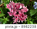 ピンクの花のガーデンシクラメン 8982238
