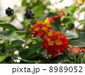 赤とオレンジのランタナ  Red Lantana 8989052