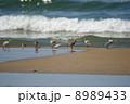 ミユビシギの群れ 8989433
