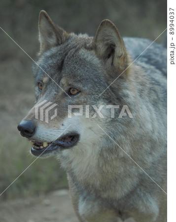 オオカミの顔 8994037