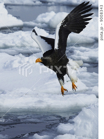 流氷上を飛ぶ羅臼の勇者 9008343