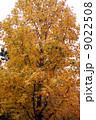 モミジバフウの紅葉  9022508