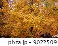 モミジバフウの紅葉  9022509
