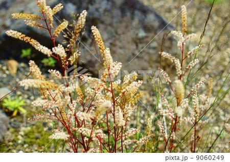 ヤマブキショウマ 花言葉:さわやか Aruncus dioicus var. tenuifolius 9060249