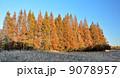メタセコイア 並木 紅葉の写真 9078957