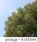 樟 クスノキ 楠の写真 9143544