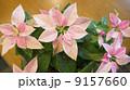 プリンセチア 9157660