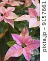 プリンセチア 9157661