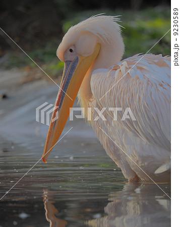 水辺の鳥 綺麗なモモイロペリカン 9230589