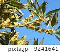 ぎっしり咲いているのはシロダモの黄色い花 9241641