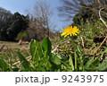 関東蒲公英 タンポポ 花の写真 9243975