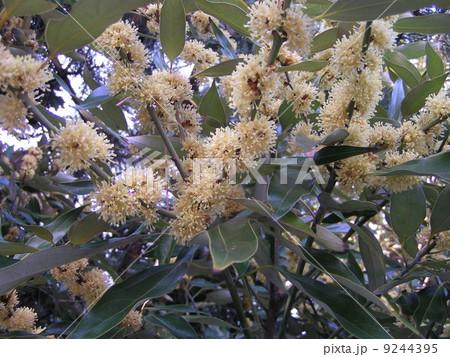 検見川浜の県道側に沢山植わっているオスのシロダモの花 9244395