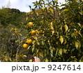 12月 冬至 田舎の生活 柚子の収穫 Countryside of Japan 9247614