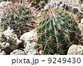 多肉植物 サボテン科 さぼてんの写真 9249430