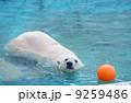 クマ 白熊 ホッキョクグマの写真 9259486