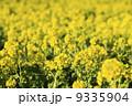 菜の花 9335904