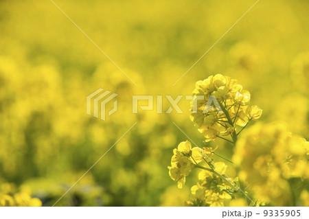 菜の花 9335905