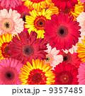Seamless Pattern from Vibrant Gerbera Flowers 9357485