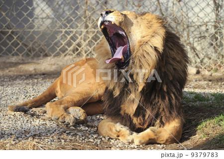 ライオン 9379783