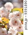 八重桜 ヤエザクラ 桜の写真 9391890