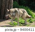 ほ乳類 哺乳類 獲物の写真 9400411