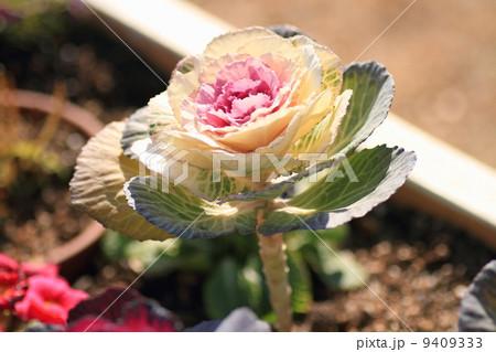 ハボタンの花 9409333