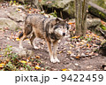 おおかみ オオカミ 狼の写真 9422459