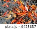 鯉の群れ 9423837