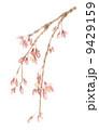 しだれ桜 さくら 枝垂れ桜のイラスト 9429159