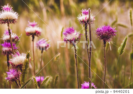 thistle purple flower green thorn nature plant 9440201