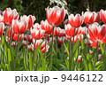 Tulips 9446122