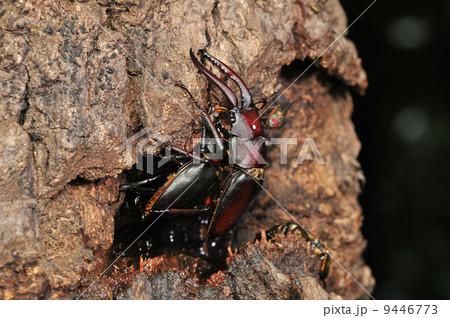 樹液で交尾するノコギリクワガタの写真素材 [9446773] - PIXTA