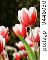 red tulip 9448030