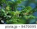 山椒サンショウの花 花山椒として食用になります。 9470095