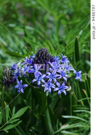 大蔓穂おおつるぼ シラー・ペルビアナと呼ばれています。 9486797