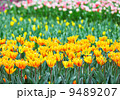 colorful tulips 9489207