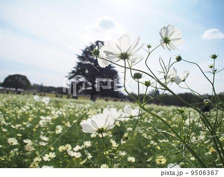 コスモス畑 9506367
