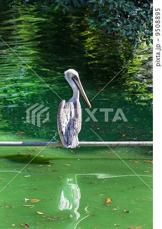 beautiful pelican 9508895