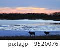 二頭の鹿が歩く冬の野付半島 (別海町) 9520076