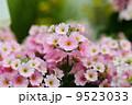 Primula malacoides 'Ume-Otome' 9523033