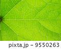 植物 葉 爽やかなの写真 9550263
