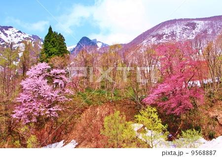 巻機山登山口早春のオオヤマサクラ 9568887