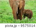 Elephants in the wild 9575014