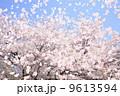 桜吹雪 9613594