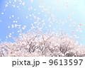 桜吹雪 9613597