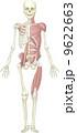 人体骨格と筋肉(前面) 9622663